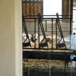 Vue de la salle sur les vaches