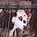 Une de nos vaches normandes